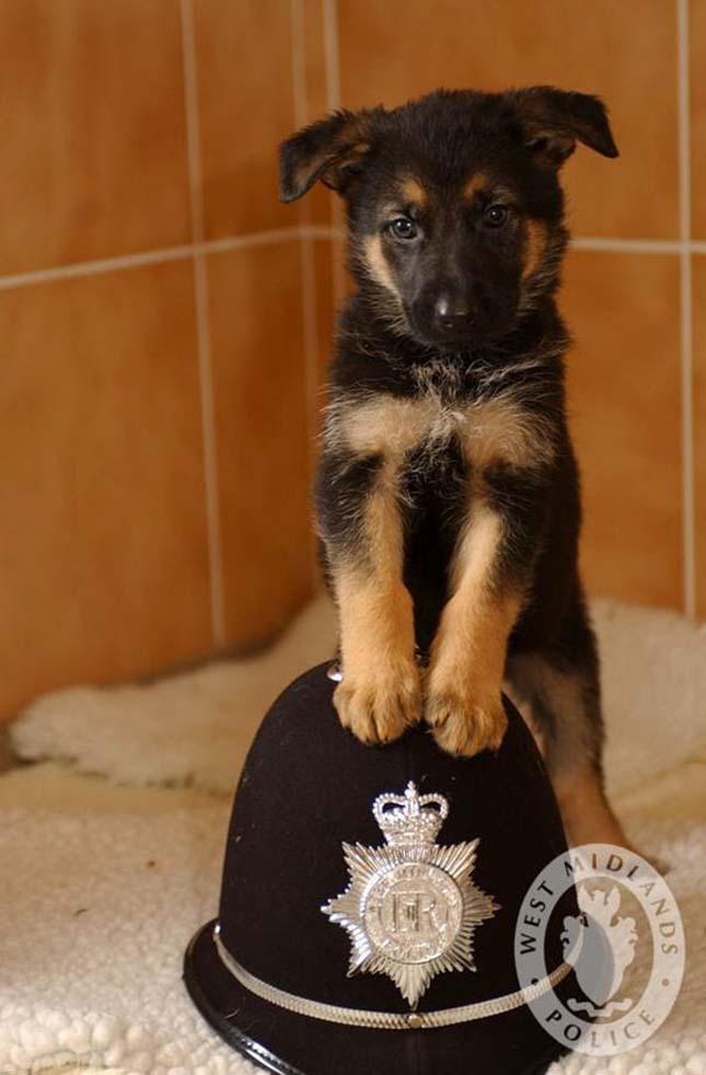 Szolgálati kutyák a kiképzésük első napjaiban