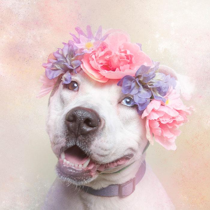 Virágkoszorús pitbullok