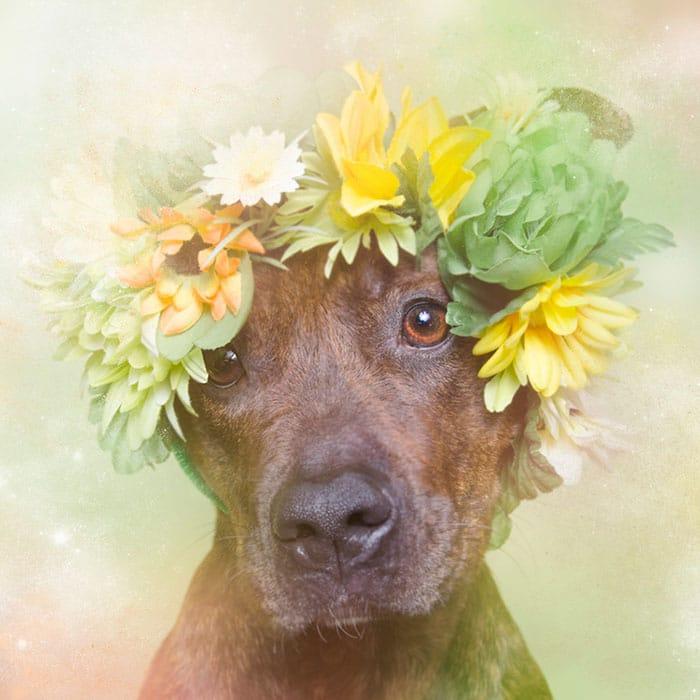 Virágkoszorús pitbullok2