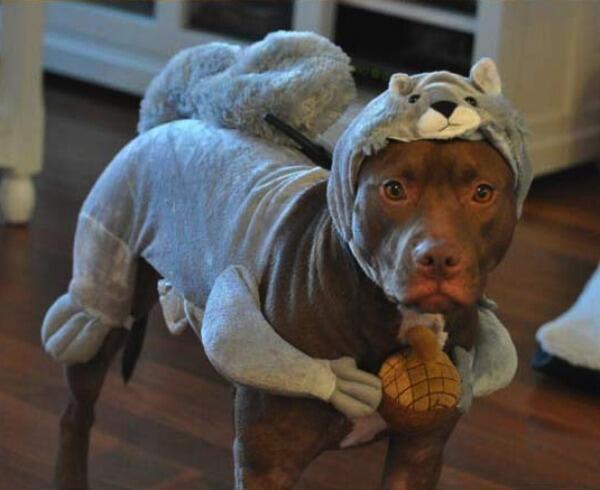 a pitbullok a legrosszabb háziállatok