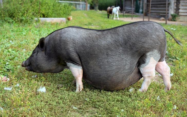Black and white pregnant pig on free range farm. Pregnant Pot-bellied pig, animal living on the farm