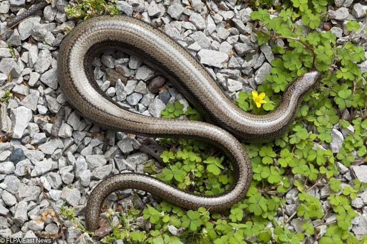Slow-worm (Anguis fragilis) adult female, pregnant with partially re-grown tail, resting on stones, Wales, august