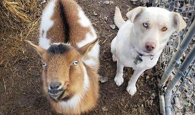labrador hazavitt egy kecskét és egy kutyát