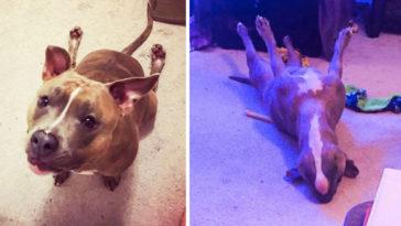 megmagyarázhatatlanul viselkedik a pitbull