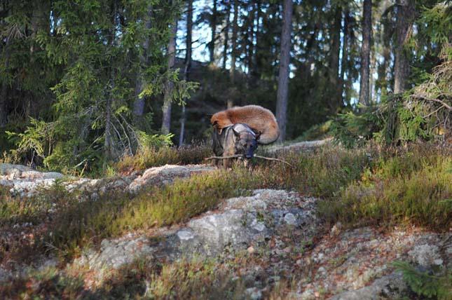róka és kutya különleges barátsága