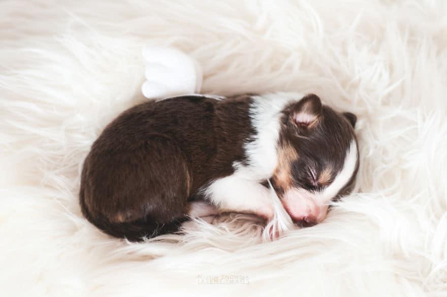 Angyali fotósorozat újszülött kiskutyákról1