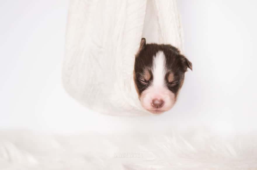 Angyali fotósorozat újszülött kiskutyákról10