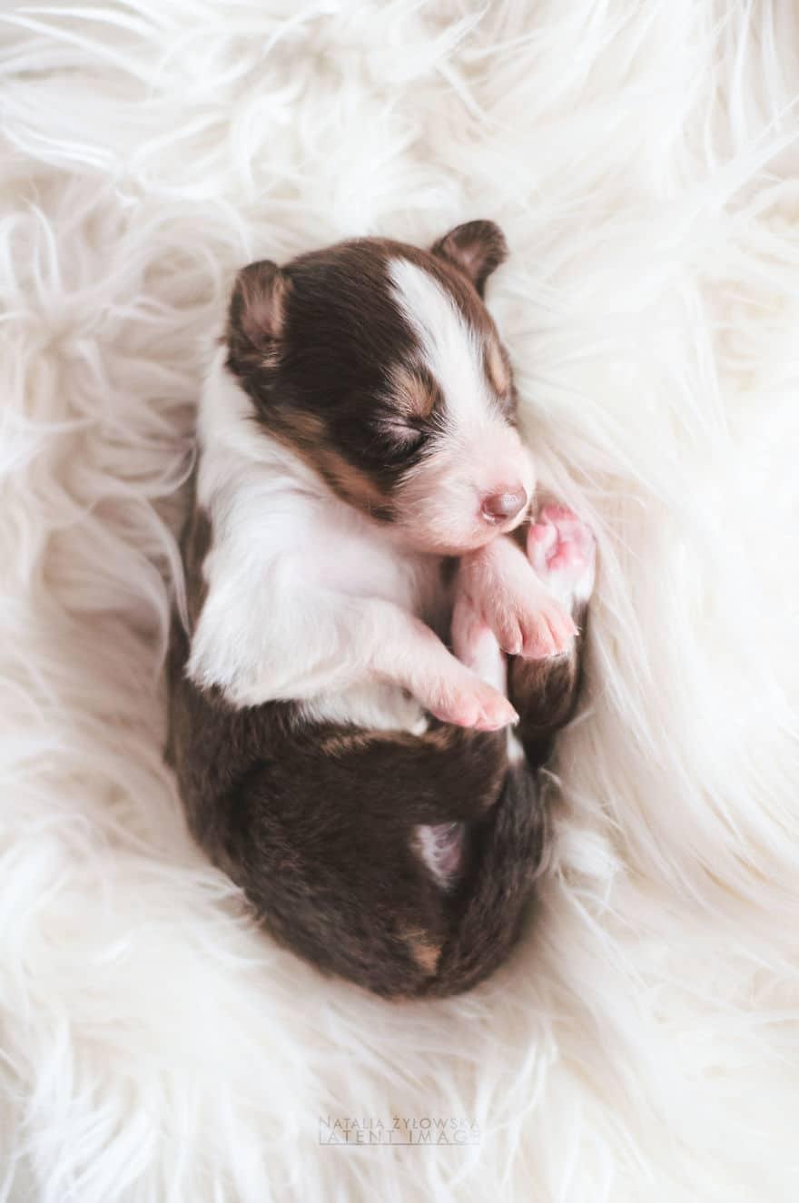 Angyali fotósorozat újszülött kiskutyákról11