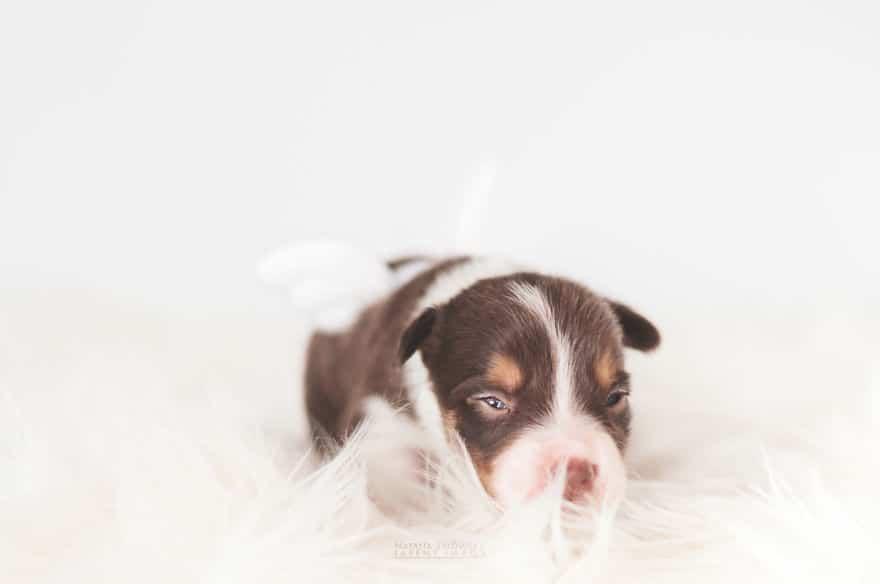 Angyali fotósorozat újszülött kiskutyákról13