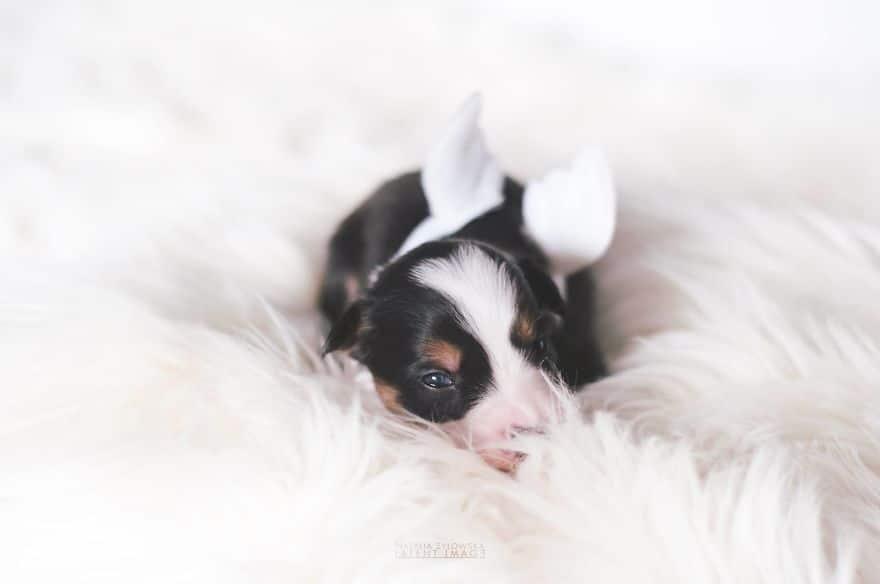 Angyali fotósorozat újszülött kiskutyákról3