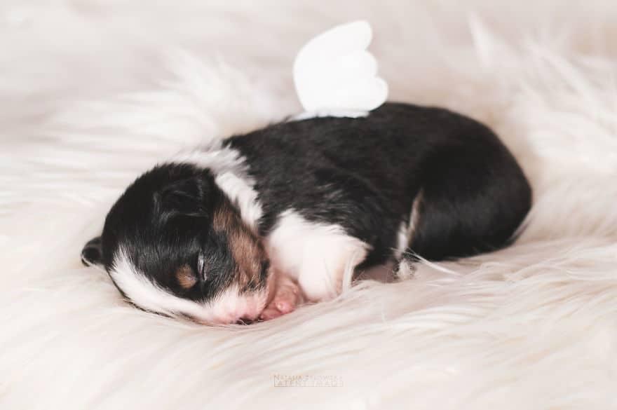 Angyali fotósorozat újszülött kiskutyákról5