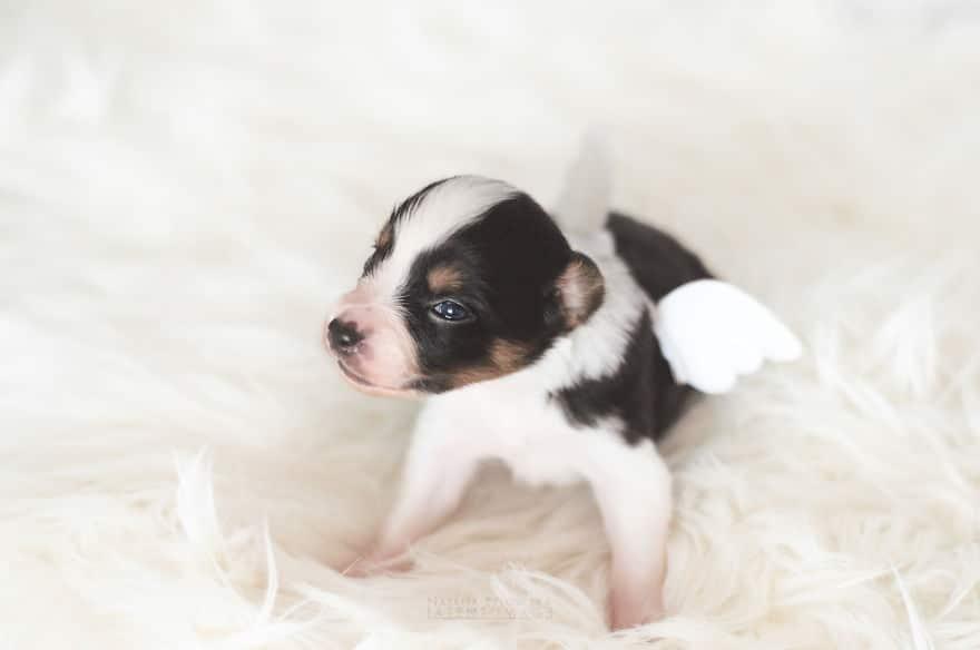 Angyali fotósorozat újszülött kiskutyákról8