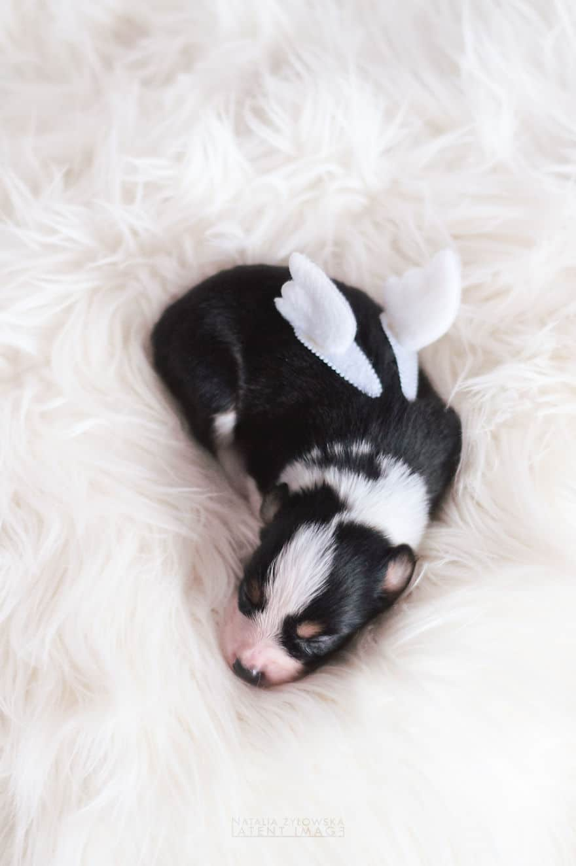 Angyali fotósorozat újszülött kiskutyákról9