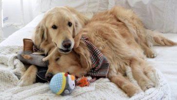 vakvezető kutya segít a golden retrievernek