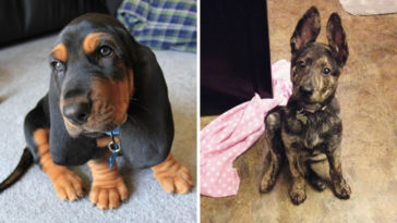 15 kiskutya, aki extra nagy fülekkel jött a világra