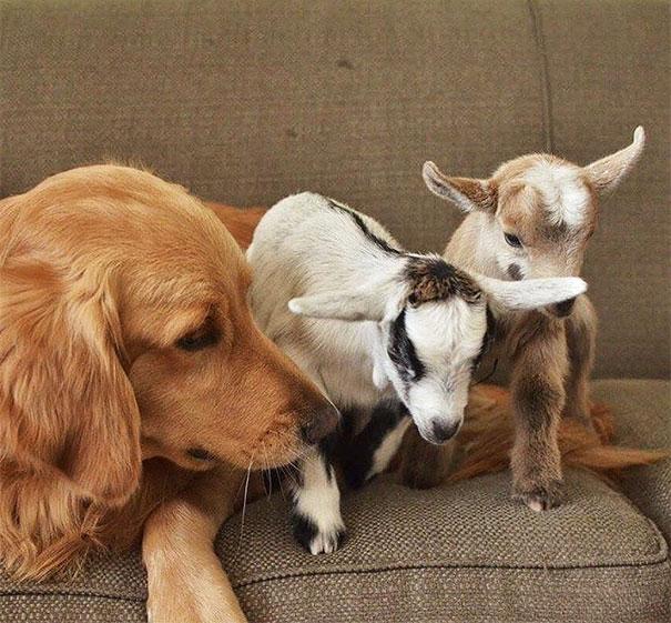 Kecskegidák anyukájának képzeli magát a kutya