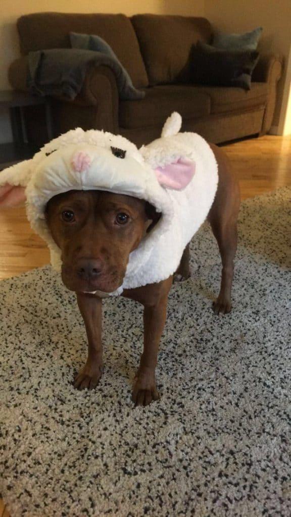 miért olyan veszélyesek a pitbullok