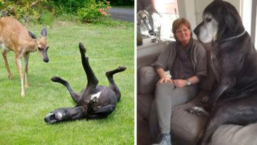 német dog, akinek fogalma sincs arról, hogy mekkorára nőtt