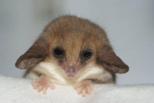 édes oposszumok