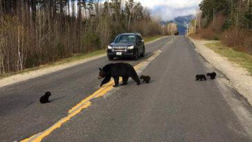 A beteg medvebocs nem képes lépést tartani anyjával