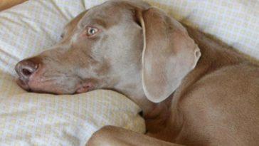 A kutya szomorúan feküdt a sarokban