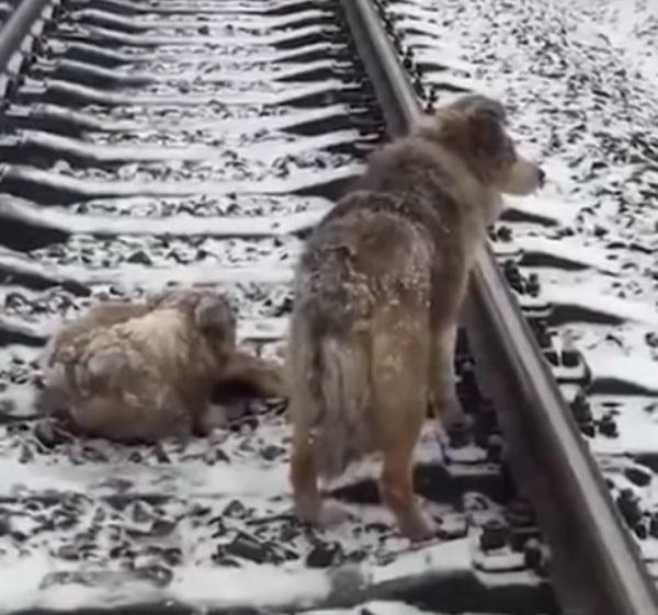 A sebesült kutya a síneken fekszik
