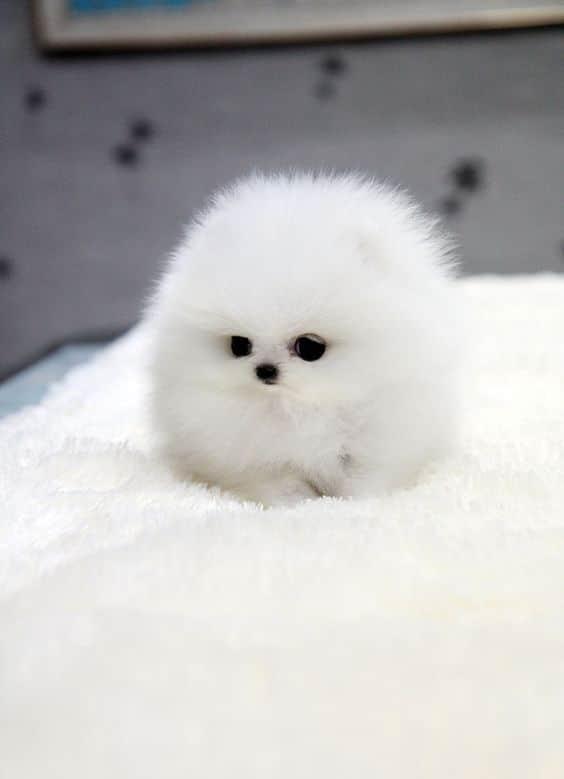 A világ 12 legapróbb kiskutyája