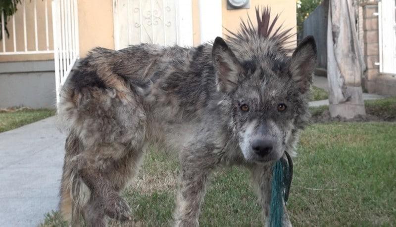 Az állatorvosok megmentették ezt az éhező kutyát