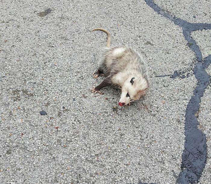Már alig élt a vemhes oposszum amikor rátaláltak