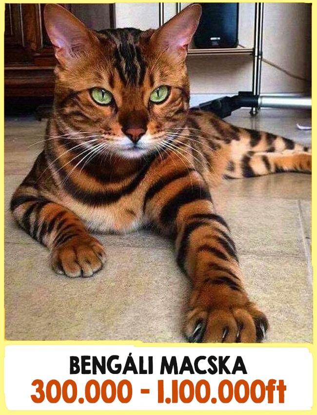 a világ legdrágább macskái
