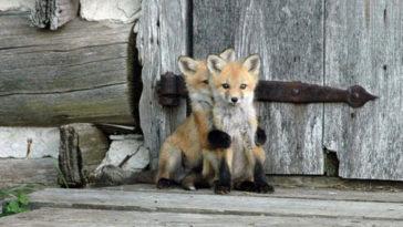 elragadó állatok