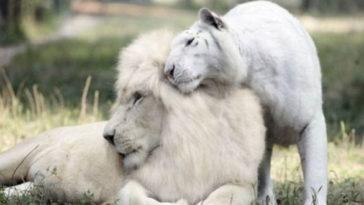 fehér tigris és a fehér oroszlán szerelem