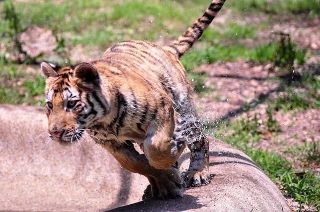 megmentették a cirkuszi tigris életét