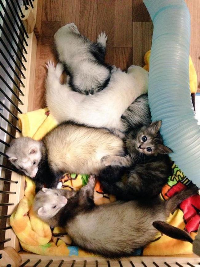 A megmentett kiscica vadászgörények között nőt fel