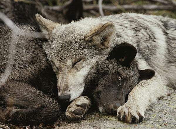 egymást párnának használó állatok