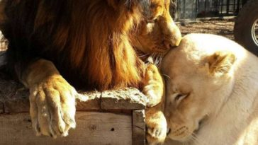 Nem volt remény az oroszlán túlélésére