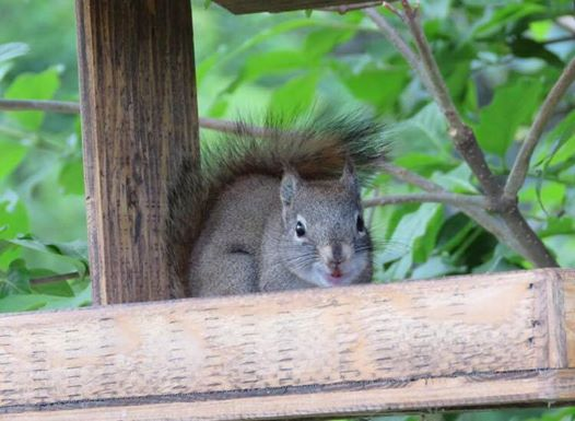 mókusnak nagyra nőttek a fogai