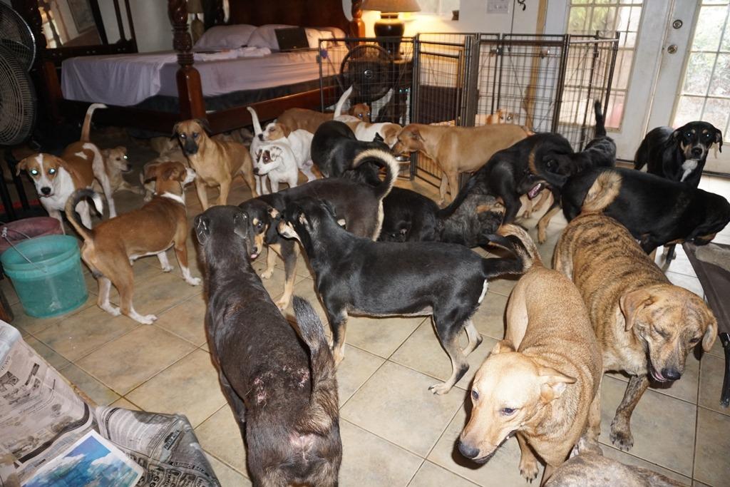 97 kutyát fogadott be egy bahamai nő a hurrikán idejére2