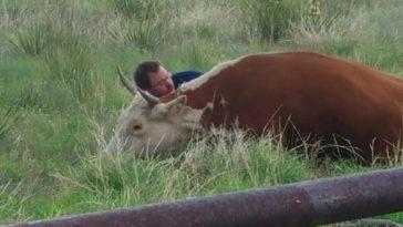 A tehén a férfi szeme láttára esik össze a mezőn