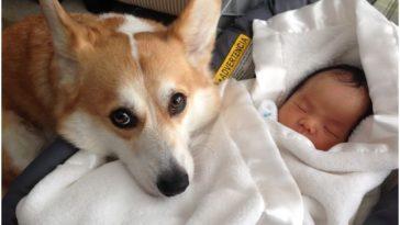 El sem mozdul a kisbaba mellől a hűséges kutya