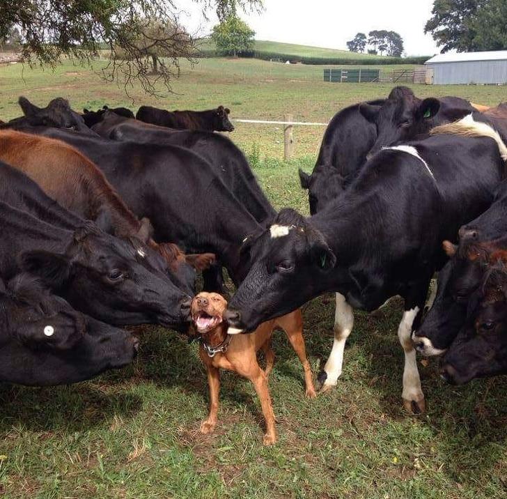a tehenek kutyának gondolták magukat