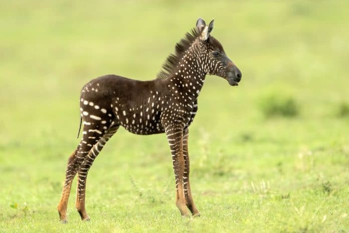 pöttyös zebra született kenyában