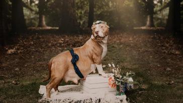 Ajándék fotózást kapott az árván maradt pitbullmama
