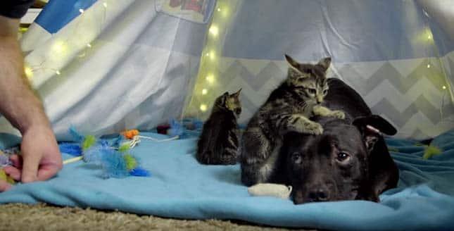 Imád cicákkal játszani a kutya