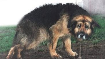 A beteg kutyát 10 éven keresztül láncon tartották