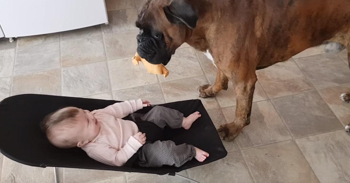 A boxer szórakoztatni kezdi a kisbabát