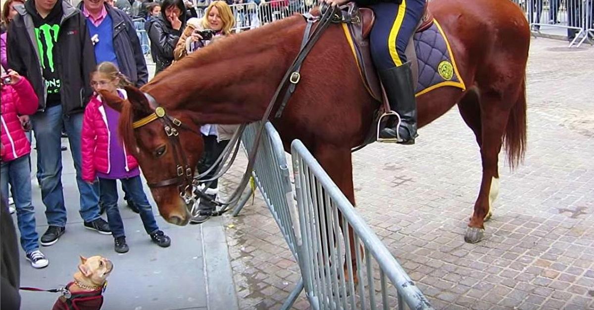 A francia bulldog odamegy a rendőrlóhoz