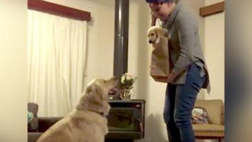 A gazdi egy kölyök kutyát hoz haza