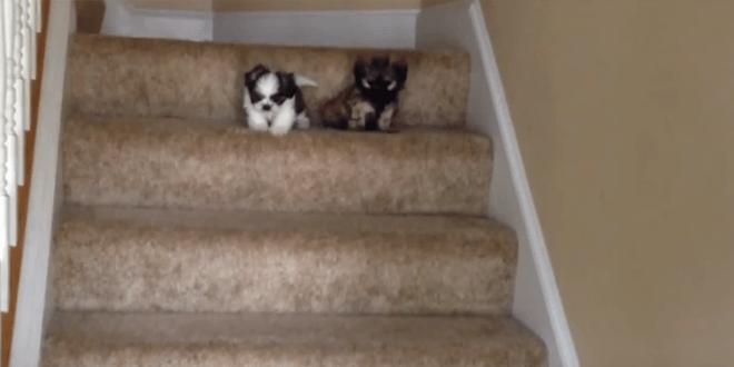 A két kölyökkutya most ismerkedik a lépcsővel