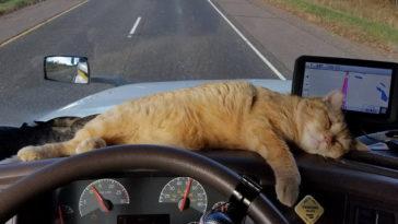 A kamion vezetője befogad egy árva cicát